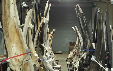 Skull bones allow whales to hear