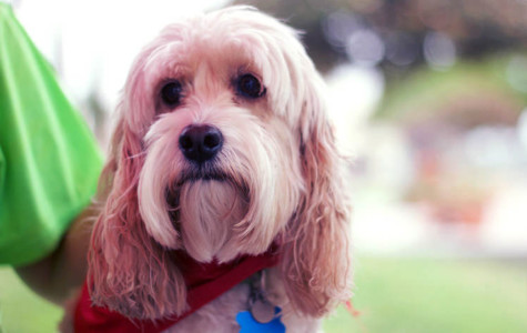 SDSU therapy dog helps students manage final exam stress
