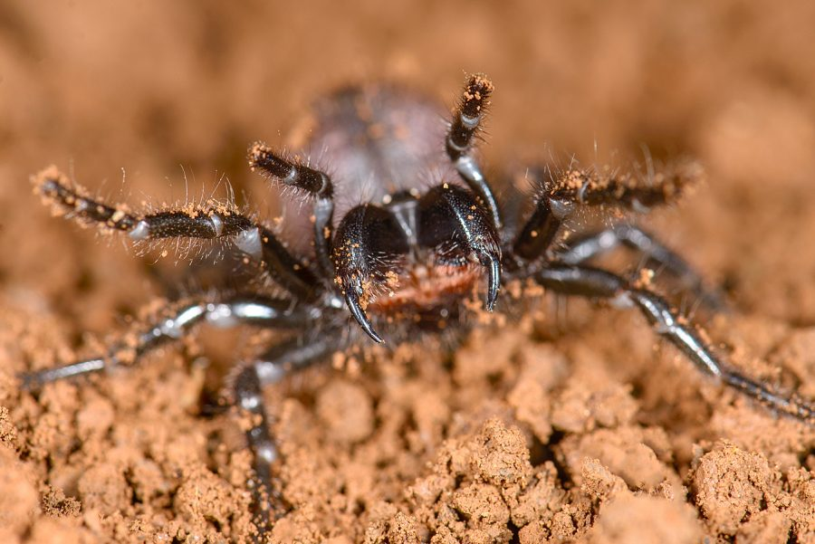 A+funnel-web+spider+in+SDSU+Professor+Marshall+Hedin%27s+lab.+A+recent+study+from+the+lab+showed+that+funnel-web+and+mouse+spiders%2C+both+native+to+Australia%2C+are+more+closely+related+than+previously+thought.