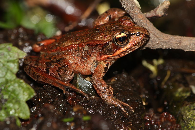 Red-legged frogs return due to alumna conservationist