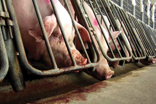 Only we can stop inhumane factory farming