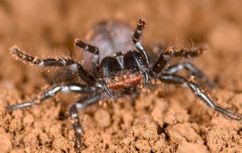 A funnel-web spider in SDSU Professor Marshall Hedin's lab. A recent study from the lab showed that funnel-web and mouse spiders, both native to Australia, are more closely related than previously thought.