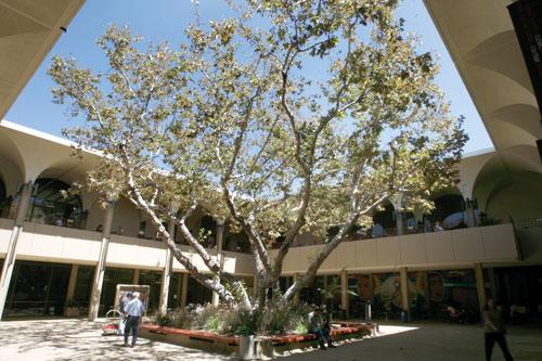 Aztec Center sycamore tree
